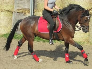 2019-Cockneys Kaiser_1-deutsches-reitpony-hengst-5jahre-147-cm-dunkelbrauner-dressurpferd-hunter-springpferd-vielseitigkeitspferd