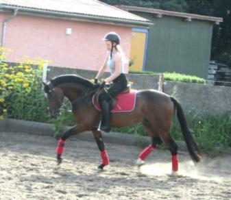 deutsches-reitpony-hengst-5jahre-147-cm-dunkelbrauner-dressurpferd-hunter-springpferd-vielseitigkeitspferd-dallgow-doeberitz-1637032_3