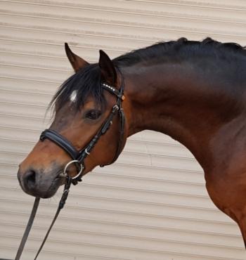 deutsches-reitpony-hengst-5jahre-147-cm-dunkelbrauner-dressurpferd-hunter-springpferd-vielseitigkeitspferd-dallgow-doeberitz-1637032_4
