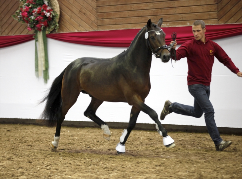 deutsches-reitpony-hengst-5jahre-147-cm-dunkelbrauner-dressurpferd-hunter-springpferd-vielseitigkeitspferd-dallgow-doeberitz-1637032_5
