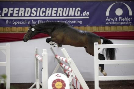 deutsches-reitpony-hengst-5jahre-147-cm-dunkelbrauner-dressurpferd-hunter-springpferd-vielseitigkeitspferd-dallgow-doeberitz-1637032_6
